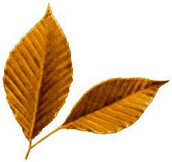 American Beech Leaf Drawing